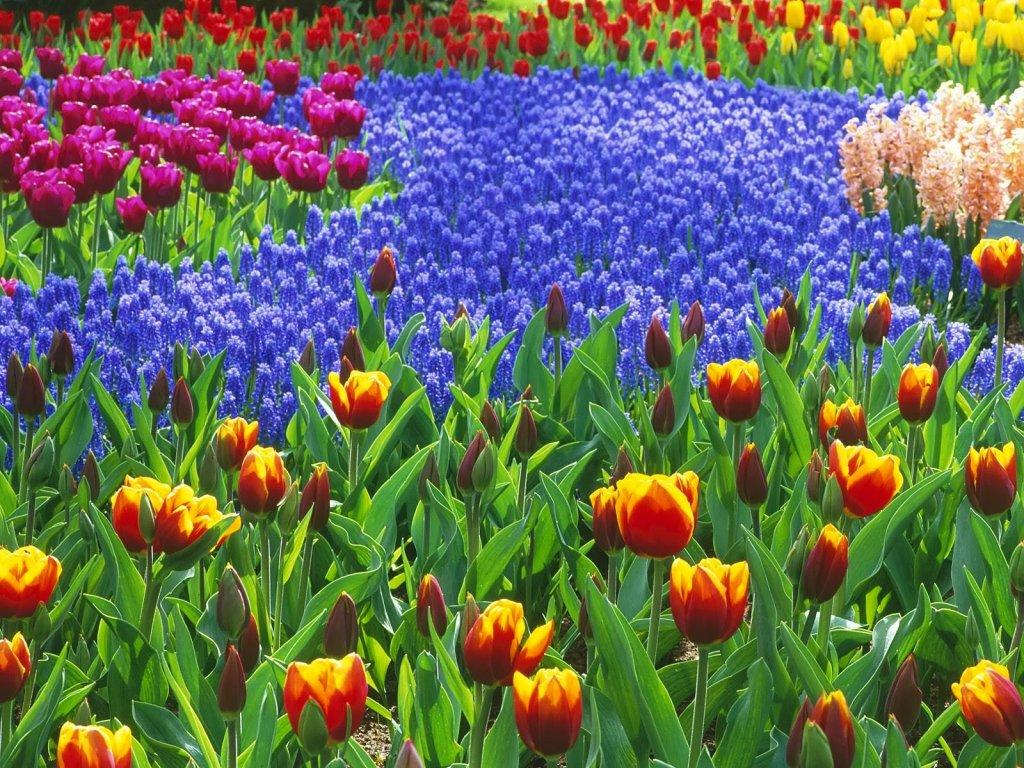 Flores do Jardim Keukenhof de Amsterdam na Holanda