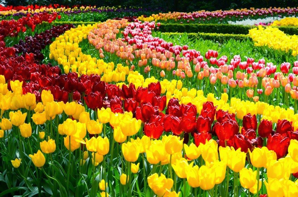 Tulipas coloridas na Holanda