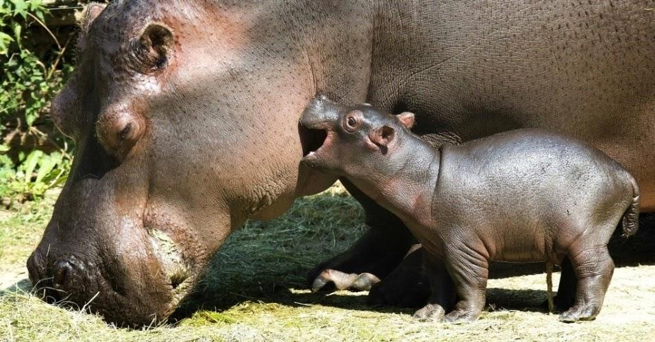 Hipopótamos no Zoológico de Basileia na Suíça