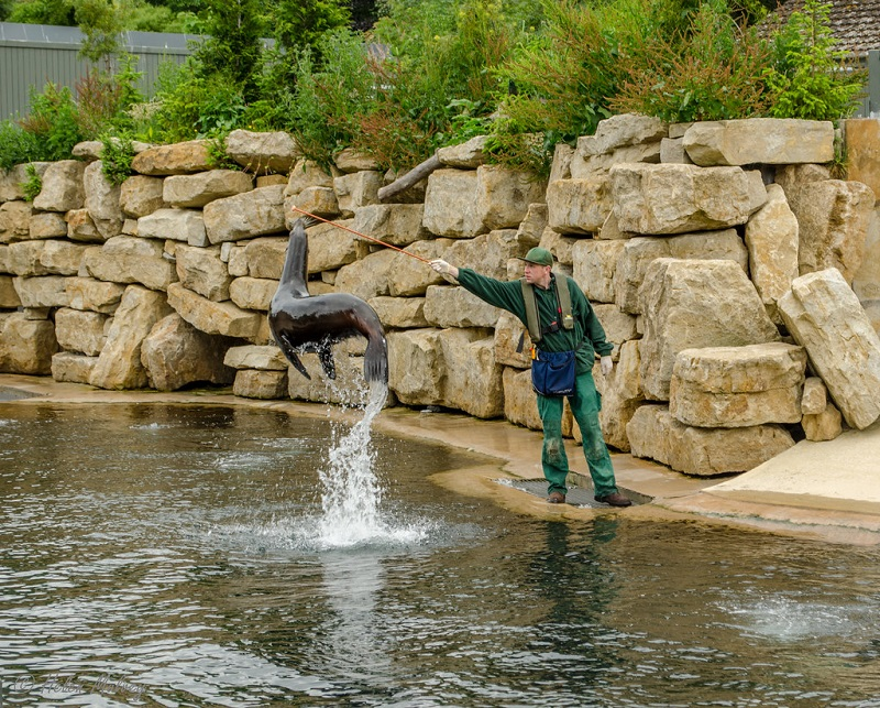 Foca no Zoológico de Dublin na Irlanda