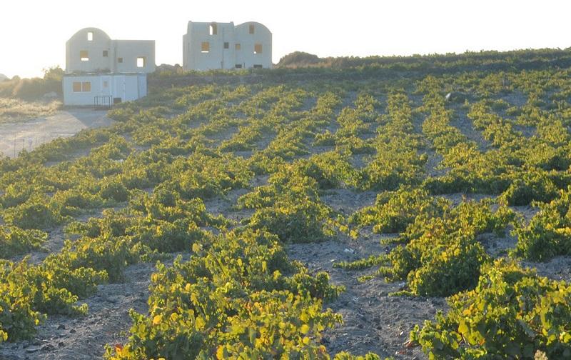 Vinhedo em Santorini